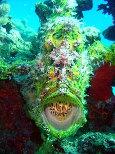 Hidden Among the Coral waiting to ambush prey - The Green Frog Fish is almost impossible to spot Underwater Creatures, Underwater Life, Fauna Marina, Beautiful Sea Creatures, Life Under The Sea, Beneath The Sea, Salt Water Fish, Water Animals, Sea And Ocean