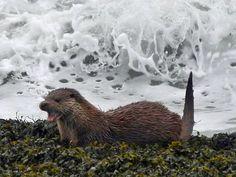 Otter on Rocks in Machir Bay, Isle of Islay