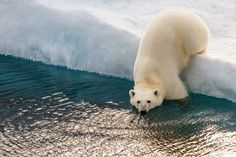 Polar Bear on the Ice Photo by Lorraine Minns -- National Geographic Your Shot