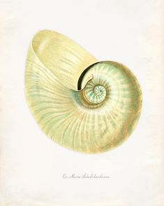 Hey, I found this really awesome Etsy listing at https://www.etsy.com/listing/82963527/vintage-sea-shell-print-8x10-p208