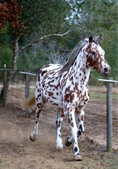 Appaloosa: Gorgeous! Life goal is to still own a horse.