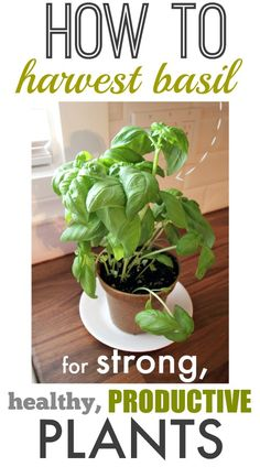 How to harvest basil for strong and productive plants!