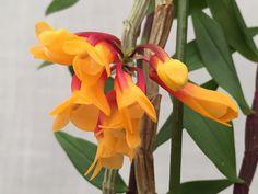 Dendrobium lawesii var. bicolor