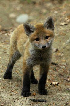 Awww - a gorgeous fox kit.