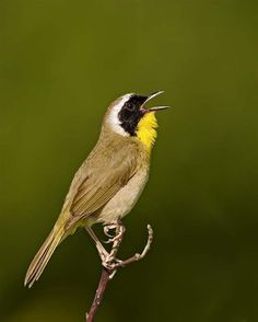 Common Yellowthroat - Photo by Ted Busby