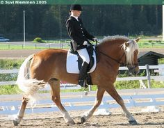 Finnhorse stallion Hopean Poju