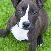 College Station, Texas - Pit Bull Terrier. Meet Harris, a for adoption. https://www.adoptapet.com/pet/21413466-college-station-texas-pit-bull-terrier-mix