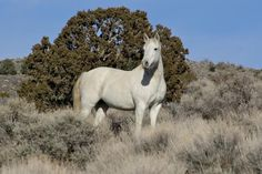 Carson City neighborhood grieves as BLM traps local wild horses