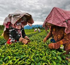 Spring tea time in Taiwan: the highest grade teas are picked in early spring and are coming to market now. The world's best Oolong comes from here. #oolong #tea #taiwan @thephotosociety @natgeo @natgeocreative by yamashitaphoto
