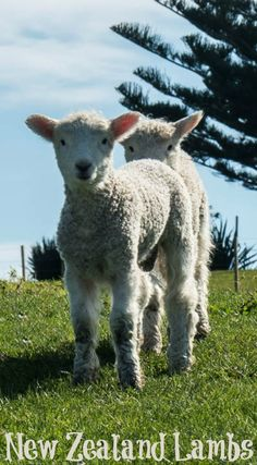 So many adorable lambs dotting the springtime hills in New Zealand.