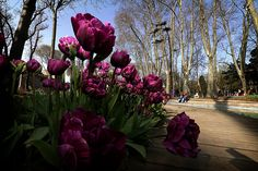 En güzel dekorasyon paylaşımları için Kadinika.com #kadinika #dekorasyon #decoration #woman #women ISTANBUL TURKEY - MARCH 31: A view of a tulip garden in Istanbul Turkey on March 31 2016. Every April different kinds of tulips are planted in Istanbul's parks avenues traffic roundabouts and open ground during the tulip season in Istanbul. Tulips b