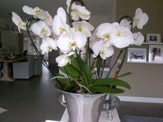 Witte orchideeën.