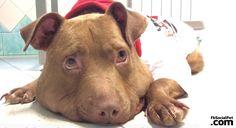 """Al cane Palla il premio """"Non Sprecare 2016"""" La storia di Palla è diventata l'emblema dell'amore per gli animali che riesce a superare la peggiore crudeltà umana. #Iloveanimals #Ilovepets #IlovemyPitBull #dogs #againstanimalcruelty #FbSocialPet"""