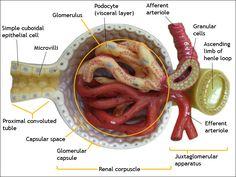 #Glomerulus #Kidney #Anatomy