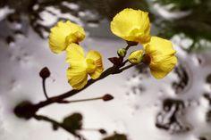 Utricularia foliosa detalhe da flor