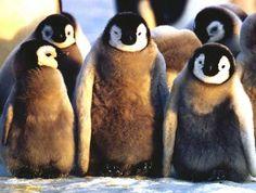 photo of emperor penguin chicks Penguin Bird, Penguin Love, Penguin Walk, Baby Animals, Funny Animals, Cute Animals, Animal Pictures, Cute Pictures, Baby Penguins
