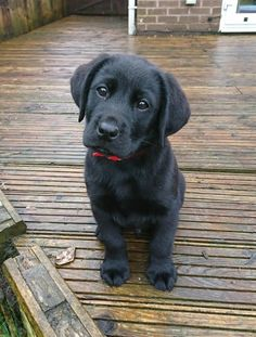 We gather images of adorable puppies from all over the world and share them with you just to make you smile. Puppies to the Rescue! Super Cute Puppies, Cute Baby Dogs, Cute Little Puppies, Cute Dogs And Puppies, Doggies, Black Labs Dogs, Black Lab Puppies, Cute Funny Animals, Cute Baby Animals