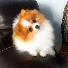 Delightful Comical And Sweet Pomeranian Ideas. Charming Comical And Sweet Pomeranian Ideas. Mini Pomeranian, Spitz Pomeranian, Pomeranians, Pomsky, Cute Puppies, Cute Dogs, Dogs And Puppies, Doggies, Cute Baby Animals