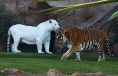 White tigers are popular among breeders and zoos because they attract more visitors. They're a subspecies of the Bengal tiger and aren't actually truly albino, but just play the part. White tigers are a result of recessive genes, and when two recessive genes are found in a tiger, it results in the white coat pattern.