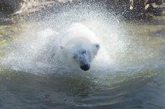 Polar Bear by Janita Sumeiko on Polar Bear, Inspired, Animals, Animales, Animaux, Animal, Animais