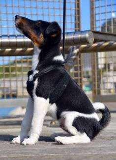 Smooth fox terrier at National Sailing Academy. Portland