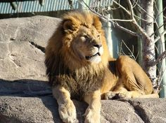 Sedgwick County Zoo, Wichita, Kansas. Know why the lion likes to stay on the big rock in the enclosure, even in the winter? It's heated!