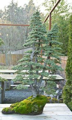 Pine Bonsai, Bonsai Plants, Bonsai Garden, Garden Trees, Garden Art, Garden Plants, Bonsai Trees, Japanese Bonsai Tree, Aquarium Landscape