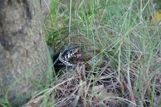 Snake in Havelte