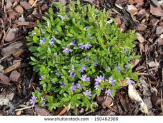 Dainty little west  Australian native wild flower plant Scaevola aemula with  its small blue flowers blooming in spring to summer   is an excellent ground cover  which is hardy and water wise.