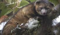 Introducing The Olinguito,The Newest Mammal Discovery, This is latest new in the world level news on New Delhi Times in India. for more info visit@ http://www.newdelhitimes.com