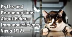 In the U.S., approximately 1.5 to 3 percent of otherwise healthy cats are infected with FIV. Know more about FIV and treatments options for FIV-positive cats. http://healthypets.mercola.com/sites/healthypets/archive/2016/08/02/cat-feline-immunodeficiency-virus.aspx