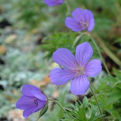 Geranium 'Nimbus' - A fine new cultivar which is already earning a good reputation. The foliage, which emerges ochre tinted, is finely cut and pale apple green and provides an excellent foil for the starry lilac flowers that are continuously produced in summer.