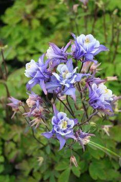 Aquilegia vulgaris 'Winky Double Blue and White' (columbine)