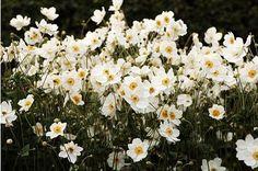 Japanese anemone palnted en masse beneath white barked birch trees