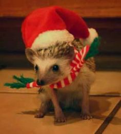 Baby hedgehog wearing a santa outfit. Baby Animals, Cute Animals, Hedgehog Pet, Santa Outfit, Pets 3, Exotic Pets, Exotic Animals, Little Critter, Pet Rabbit