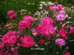 Petra Rosso' Garden. Pink flower bed. Spring