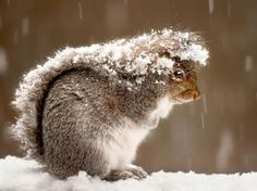 Обиженная белка спряталась в снегу!