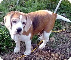 Houston, TX - Beagle. Meet Twinkles a Dog for Adoption.