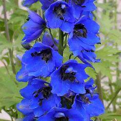 DELPHINIUM 'Blue Jay'  (Pied d'alouette vivace) : Hampes vigoureuses, portant d'énormes épis non ramifiés. Ceux à grandes fleurs obtenues par graines, présentent quelques variations de couleur. Le bouquet d'étamines noires ou blanches dessine une tâche appelée mouche, au centre des fleurs. De taille moyenne, leur port est buissonnant, les tiges ramifiées. Ils fleurissent longtemps et abondamment. Bleu clair, mouche noire.