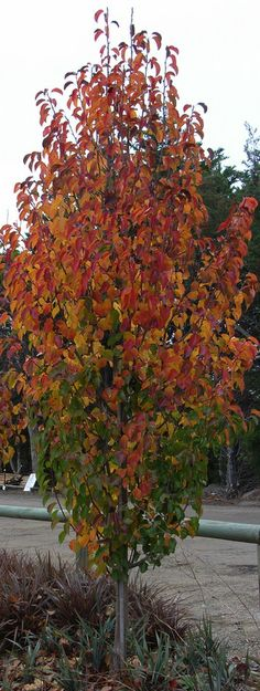 Chanticleer Pyrus - Autumn foliage