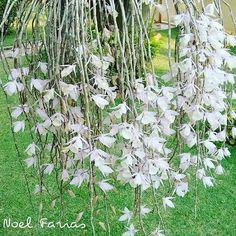 Cascata de orquídeas #orquideas #flores #flowers #garden #gardening #floricultura #jardim #paisagismo #decoracao