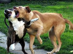 What Is the Best Way to Stop a Dog Fight? | Psychology Today | Good to know. We have many, many dogs in our neighborhood and not all are leashed.