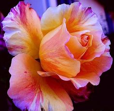 How To Tie Dye Roses Beautiful Flowers Flower And Rose