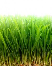 Hierba de Trigo ecológica / Fresh organic Wheatgrass