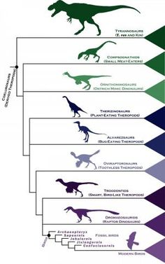 Scientists led by Dr Stephen Brusatte have produced the most comprehensive family tree of prehistoric birds and their closest dinosaur relatives to date. Raptor Dinosaur, Dinosaur Art, Dinosaur Display, Dinosaur Crafts, Prehistoric World, Prehistoric Creatures, Extinct Animals, Tyrannosaurus Rex, Birds