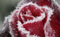 Winter photo macro pics _____________________________________ It's so beautiful Enjoy! Ice Rain, Wallpaper Rose, Photo Macro, Frozen Rose, Free Art Prints, Winter Flowers, Bath And Beyond Coupon, Winter Photos, Breakfast For Kids