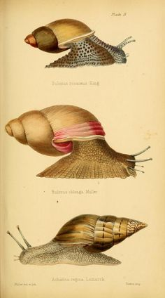 snails Initiamenta conchologica, or, Elements of conchology : - Biodiversity Heritage Library