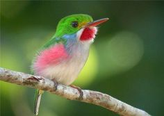 "1605 repins!  Wow!  What a little beauty.  The CUBAN TODY, smallest bird in the WORLD dwells in Cuba 5-6cm (1/4""! Body under feathers) - The 'Bee' Hummingbird, some say, but a fellow pinner says this is a CUBAN TODY*."