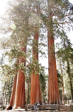 Sequoia Forest.