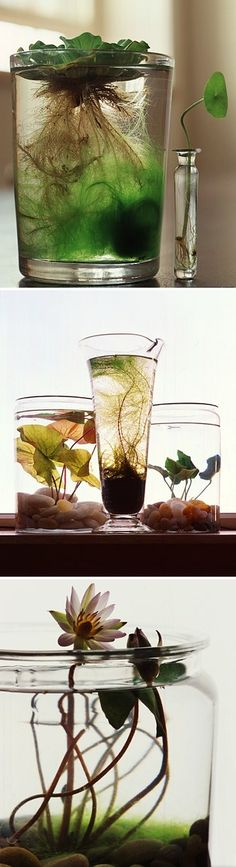 Indoor Water Garden - I love roots plants all around the house.especially on the kitchen windowsill or creating a water garden in the bedroom. Indoor Water Garden, Garden Plants, House Plants, Water Gardens, Indoor Gardening, Indoor Pond, Glass Garden, Do It Yourself Garten, Plantas Indoor